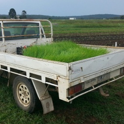 Ute full of shallots