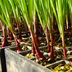Onion seddlings ready to go in