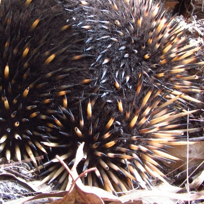 Little echidna I saw on the Tathra trails