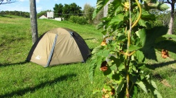 My tent in amongst the hops