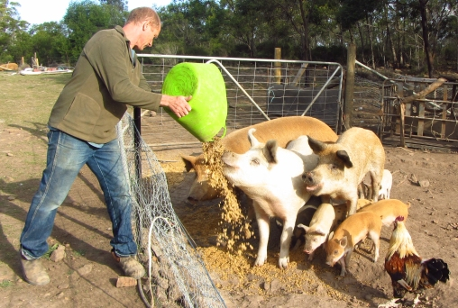 Phil feeding his happy hogs