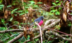 A rare pink robin we spotted on the farm