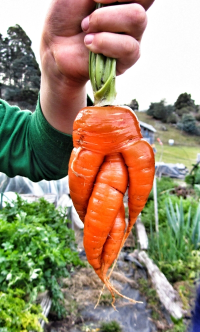 Twisted carrot!