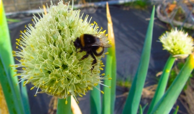 A giant Tassie bee